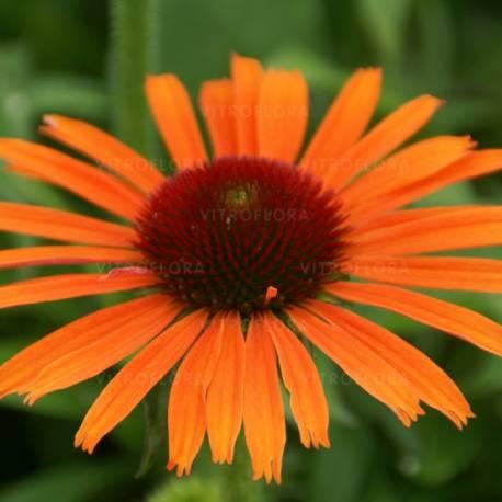 Jeżówka 'Orange Skipper' Echinacea