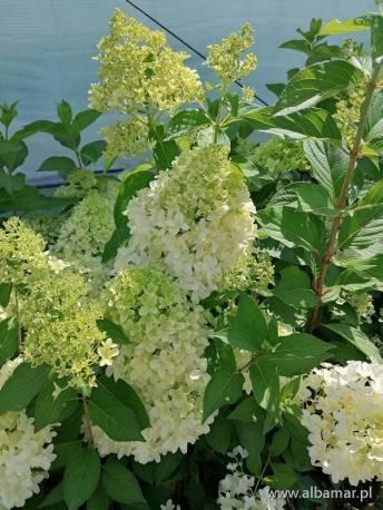 Hortensja bukietowa 'Skyfall' Hydrangea paniculata
