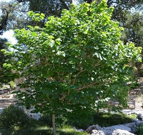 Judaszowiec chiński 'Avondale' Cercis chinensis