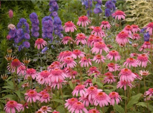 Jeżówka 'Pink Double Delight' Echinacea