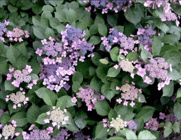 Hortensja piłkowana 'Bluebird' Hydrangea serrata