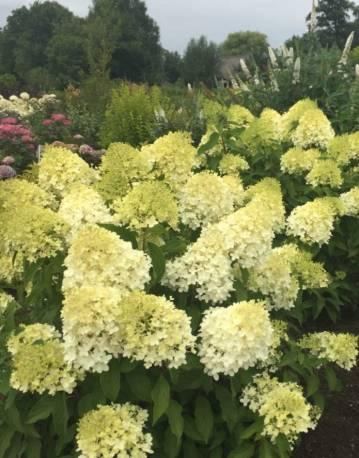 Hortensja bukietowa PINKACHU 'Smhppinka' Hydrangea paniculata
