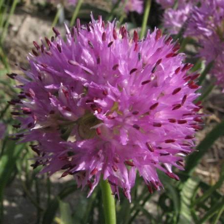 Czosnek 'Rosy Dream' Allium