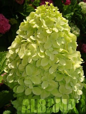 Hortensja bukietowa 'Limelight' Hydrangea paniculata