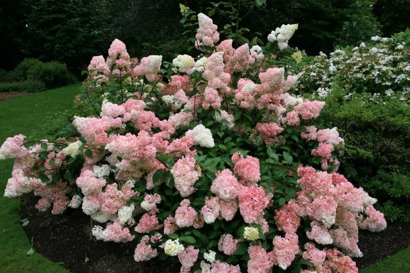 hortensja bukietowa 39 vanille fraise 39 hydrangea paniculata. Black Bedroom Furniture Sets. Home Design Ideas