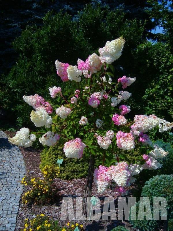 hortensja bukietowa vanille fraise hydrangea paniculata