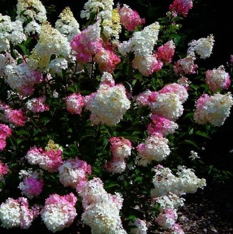 Hortensja bukietowa 'Vanille Fraise' Hydrangea paniculata