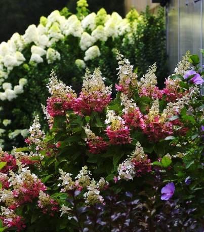 Hortensja bukietowa 'Pinky Winky' Hydrangea paniculata