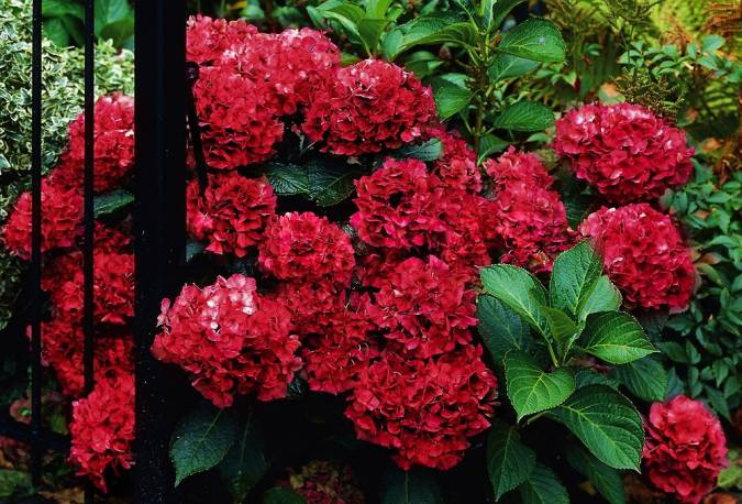 Hortensja ogrodowa 'Hot Red' Hydrangea macrophylla