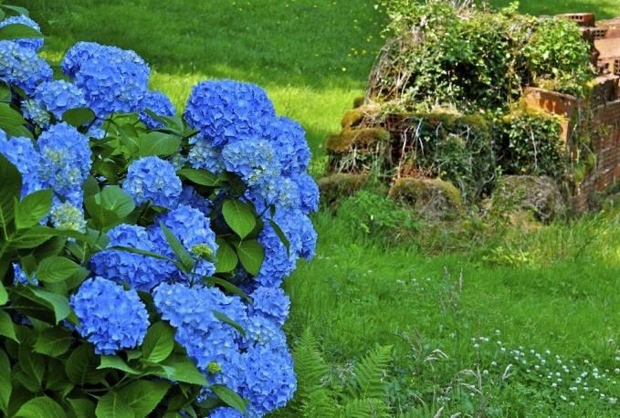 Hortensja ogrodowa 'Early Blue' Hydrangea macrophylla