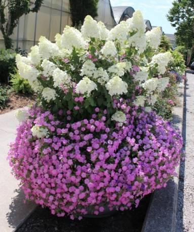 Hortensja bukietowa 'Bobo' Hydrangea paniculata