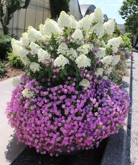 Hortensja bukietowa 39 bobo 39 hydrangea paniculata albamar for Trees and bushes for small gardens