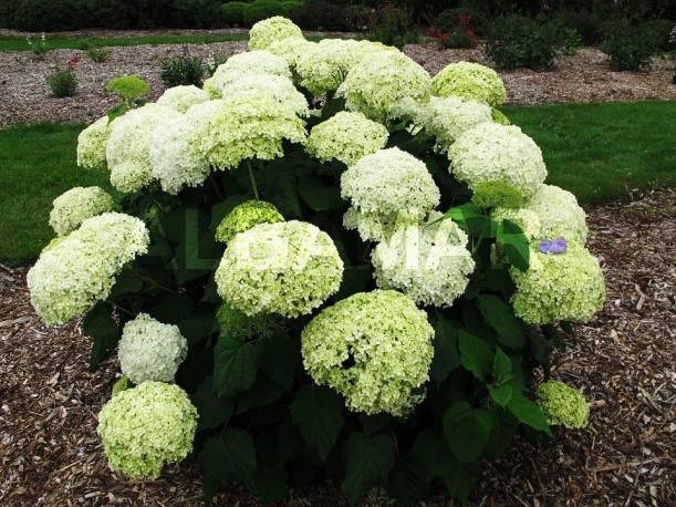 Hortensja drzewiasta 'Incrediball' Hydrangea arborescens