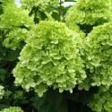 Hortensja bukietowa 'Little Lime' Hydrangea paniculata
