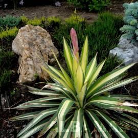 Juka karolińska 'Colour Guard' Yucca filamentosa