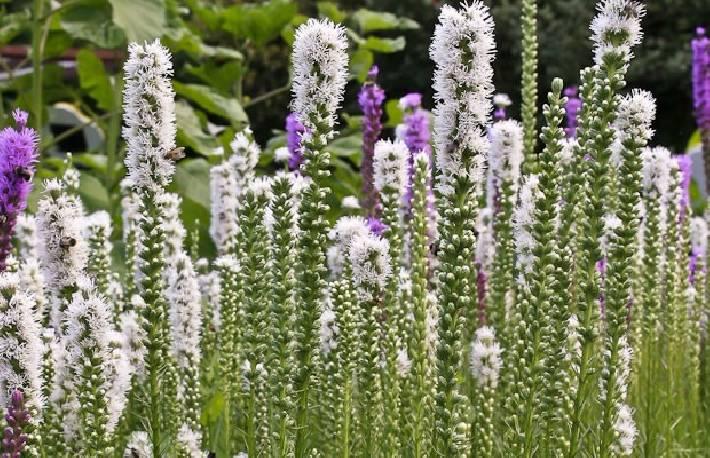 Liatra kłosowa 'Alba' Liatris spicata