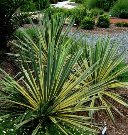 Juka karolińska 'Bright Edge' Yucca filamentosa