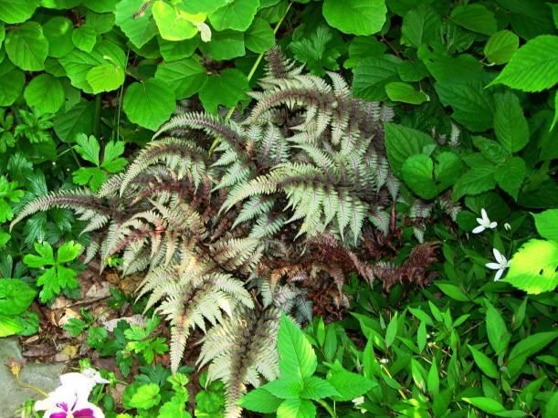 Wietlica japońska 'Ursula's Red' Athyrium nipponicum