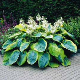Funkia 'Frances Williams' Hosta