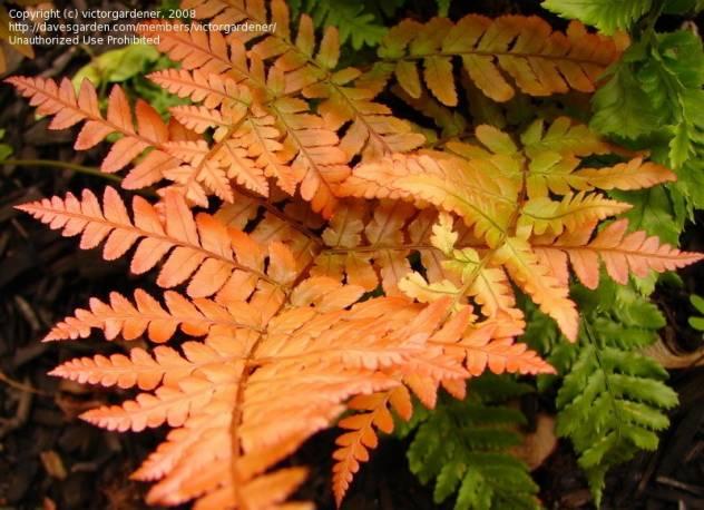 Narecznica czerwonozawijakowa Dryopteris erthrosora