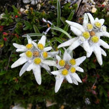 Szarotka alpejska Leontopodium alpinum
