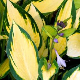 Funkia 'Orange Marmalade' Hosta