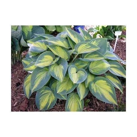 Funkia 'June' Hosta