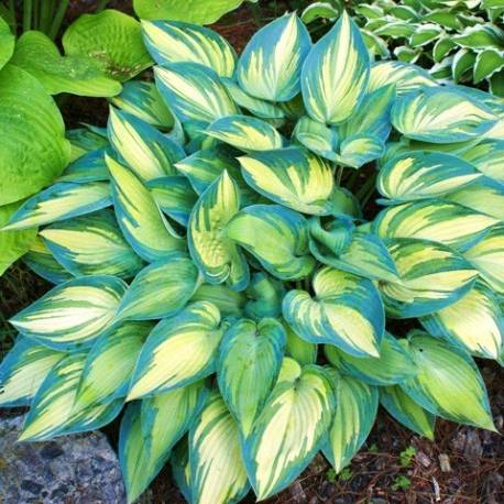 hosta 39 june 39 funkia june. Black Bedroom Furniture Sets. Home Design Ideas