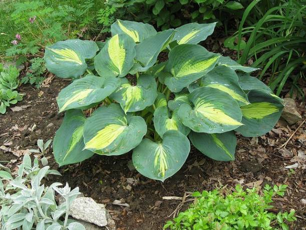 Funkia 'Dream Weaver' Hosta