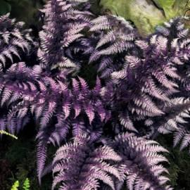 Wietlica japońska 'Burgundy Lace' Athyrium nipponicum