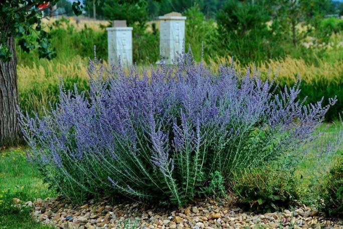 Perovskia łobodolistna 'Blue Spire' Perovskia atriplicifolia