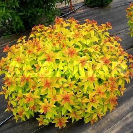 Tawuła japońska 'Goldflame' Spiraea japonica