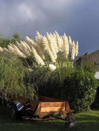 Trawa pampasowa Cortaderia selloana