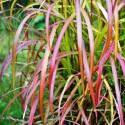 Miskant chiński 'Ghana' Miscanthus sinensis