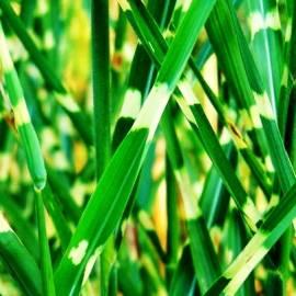 Miskant chiński 'Strictus' Miscanthus sinensis