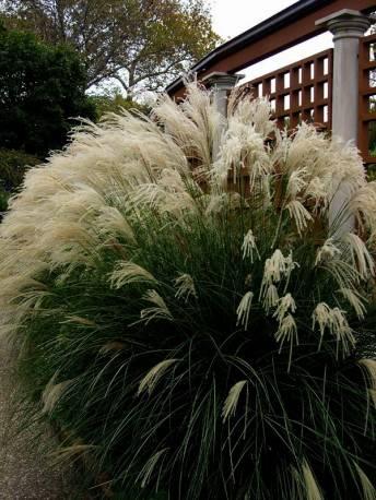 Miskant chiński 'Yaku Jima' Misctanthus sinensis