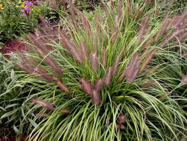 Rozplenica japońska 'Moudry' Pennisetum alopecuroides