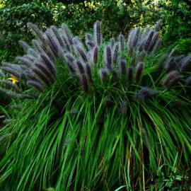 Piórkówka japońska 'Moudry' Pennisetum alopecuroides