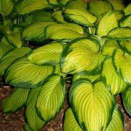 Funkia 'Stained Glass' Hosta