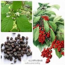 Cytryniec chiński Schisandra chinensis