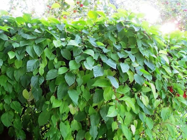 Cytryniec chińśki Schisandra chinensis