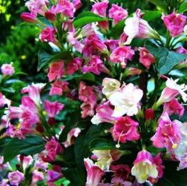 Krzewuszka cudowna 'Marjorie' Weigela florida