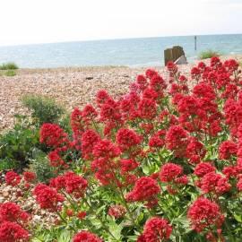 Ostrogowiec czerwony 'Coccineus' Centranthus ruber