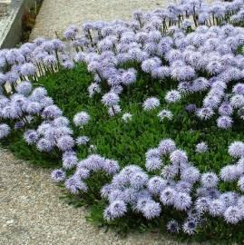 Kulnik sercolistny Globularia cordifolia