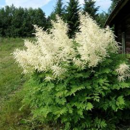 Parzydło leśne 'Pearl White' Aruncus sinensis