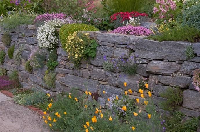 Goździk piaskowy Dianthus arenarius