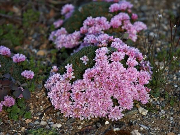 Zawciąg jałowcolistny 'Bevans Variety' Armeria juniperifolia