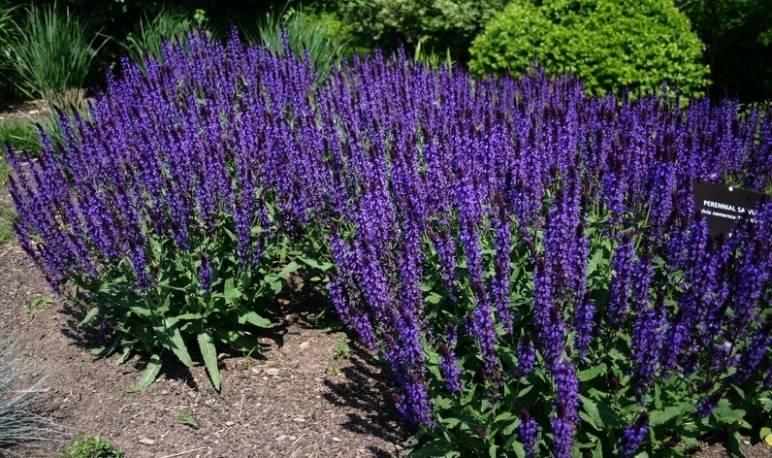 Szałwia omszona 'Merleau Blue' Salvia nemorosa
