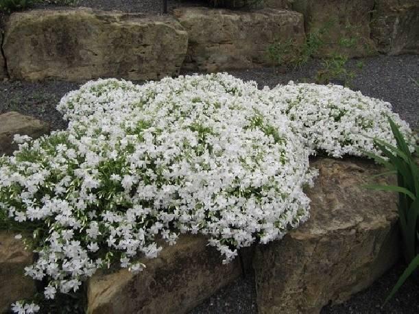 Floks szydlasty 'Calvides White' Phlox subulata