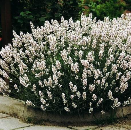 Lawenda wąskolistna 'Edelweiss' Lavandula angustlifolia